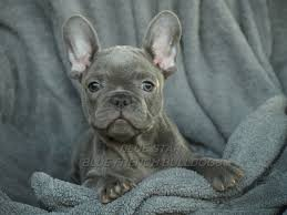 cute blue french bulldog puppies. With Cute Blue French Bulldog Puppies
