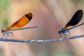 copper demoiselles calopterix haemorrhoidalis by ann miles