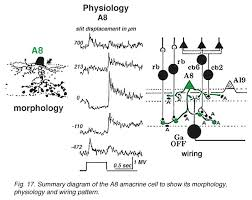 roles of amacrine cells by helga kolb webvision summary diagram of the a8 amacrine cell