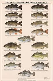 Freshwater Fish Chart Freshwater Bass Fish Poster And Identification Chart