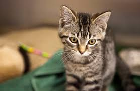 humane society kittens. Wonderful Society Kittypalooza With Abundance Of Cats And Kittens Humane Society Offers  Adoption Specials In Kittens P