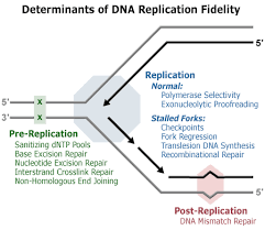 Dna Replication Fidelity Group