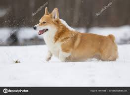 Welsh Corgi Dog Running Outdoors Snow ...