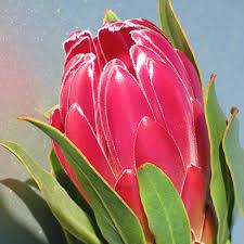 Brenda - Cape Flora