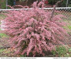 Pictures Of Flowering Shrubs For Landscaping IdeasShrub With Pink Flowers