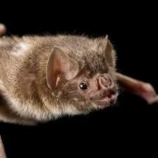 Common <b>vampire</b> bat, facts and photos