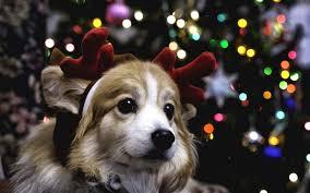 christmas puppy iphone wallpaper. Beautiful Iphone 1080x1920 Cute Pugs Puppies IPhone 6 Wallpaper HD Inside Christmas Puppy Iphone C