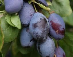 Duo Plum Trees For SalePlum Fruit Tree Varieties