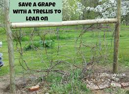 Have grapes and they are getting all over the place, build grape trellis  and train