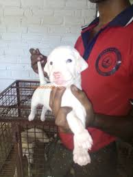raam indian pure breed dog puppies in raam