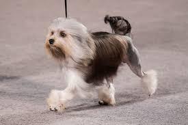 Löwchen <b>Dog</b> Breed Information