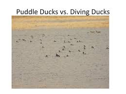 Ppt Puddle Ducks Vs Diving Ducks Powerpoint Presentation