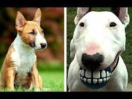 miniature bull terrier vs standard. Wonderful Bull Miniature Bull Terrier Vs Puppies And Full Grown Dogs For Vs Standard E