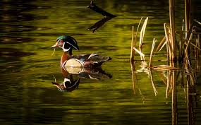 In Emerald Morning | Wood Duck .. in Wonderful morning light… | Flickr