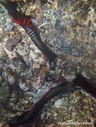 The striped eel commonly has a length of up to 4.9 feet (1.5 meters), but many specimens found are much smaller. Zebra Moray Eel Graham S Island