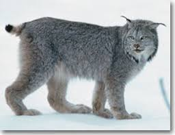 lynx size lynx aep environment and parks