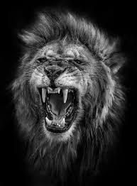 lion roaring black and white. Contemporary Roaring Inside Lion Roaring Black And White G
