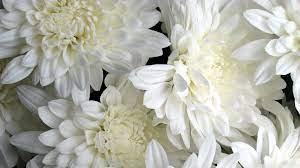 White Flowers Ultra HD Desktop ...