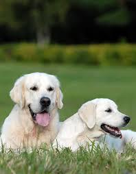 Labrador Dog Size vs Golden Retriever ...