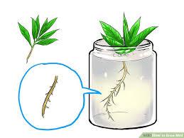 image titled grow mint step 1