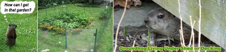 how to keep groundhogs out of my garden. Brilliant Keep It Has Been Said That Eggs Turn The Woodchucks Away And Keep Them For  Good Yet There Are No Guarantees This Is True In How To Keep Groundhogs Out Of My Garden Wildlife Animal Control