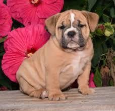 american bulldog newborn puppies.  American Chloe SOLD  English Bulldog Puppy For Sale In Millersburg OH Inside American Newborn Puppies B