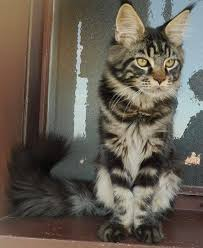 Maine Coon On The Kitten Window