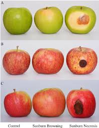 Sunburn Severity Chart Representative Samples Of A Granny Smith B Fuji