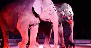 this week the garden bros circus began three weeks of shows in florida the circus is traveling with elephants and camels garden bros is a new circus