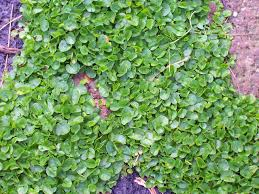 dichondra repens jpg