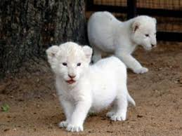 baby white lion with blue eyes. White Baby Lion With Blue Eyes Intended