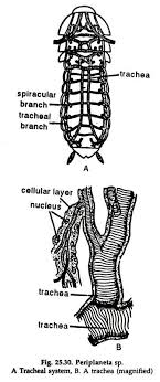 essay on cockroach digestive system and respiratory system 2 the tracheae open to the exterior by ten pairs of apertures the spiracles or stigmata two are placed on each side of the thorax one between pro and