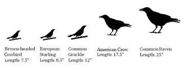 Focus Raven Size Chart Identifying Black Birds K 12 Education K 12 Education