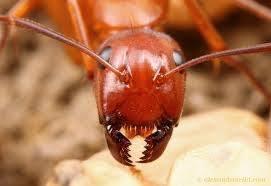 should you pop ant bites
