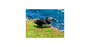 puffin iceland sticker poster card love cute bird black graphic gift affiche et impression d art