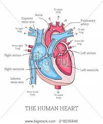 Human Blood Flow Chart Hand Drawn Illustration Of Human Heart Anatomy Educational