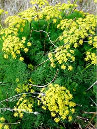 pungent desert parsley flower essence