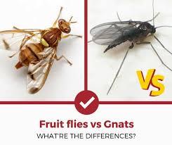 Gnat Identification Chart Fruit Flies Vs Gnats Simple Guide Pest Strategies