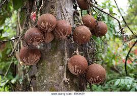 Most Expensive Fruit In Kerala22 Fruits Of Keralatast Of Kerala Kerala Fruit Trees
