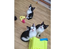 black and white kittens for sale. Exellent Black Ended Posted Description 3 Beautiful Friendly Black And White Kittens  For Sale  On Black And White Kittens For Sale D