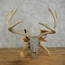 whitetail deer skull european mount for