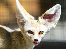 fennec fox. Exellent Fox Fennec Foxes Can Be Housetrained But You May Have To Work At It For A  While By Tambako In Fox I
