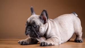 How Big Are French Bulldogs A Guide To French Bulldog Size