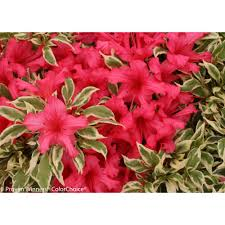 proven winners bollywood azalea rhododendron live evergreen shrub pink flowers with green and