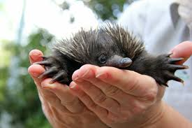 baby puggle echidna. Fine Puggle Echidna In Hands 2015 04 16 Throughout Baby Puggle 2