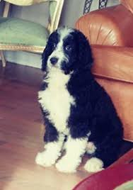 1 400 1400 bernedoodle puppy male bernese mt dog poodle hybrid microchipped san go located in san go this is a big guy