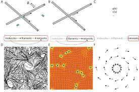 13 the interplay between microtubules and respective motor proteins can scientific diagram