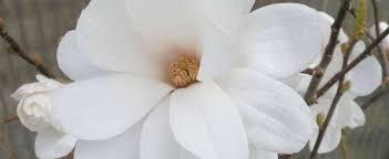"""Attēlu rezultāti vaicājumam """"magnolijas stādi"""""""