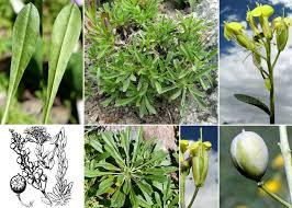 Alyssoides utriculata (L.) Medik. subsp. utriculata - Portale alla flora ...