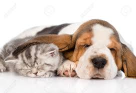 kittens and puppies sleeping. Unique Puppies Kitten Sleeping Under The Ear Basset Hound Puppy Isolated On White  Background In Kittens And Puppies Sleeping P
